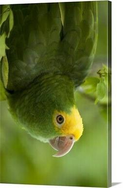 Yellow-headed Amazon Parrot, Belize, Canvas Wall Art Print,